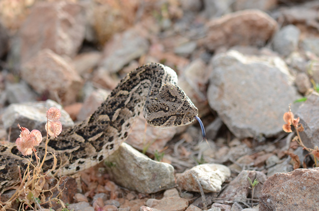 Bitis arietans Maroc