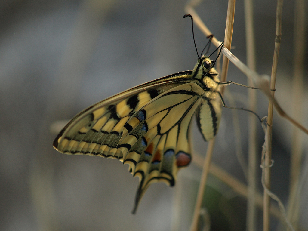 Papilio machaon Croatie
