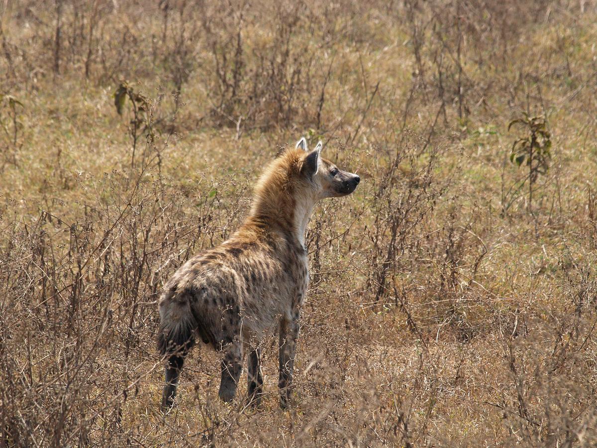Hyène, Ngorongoro