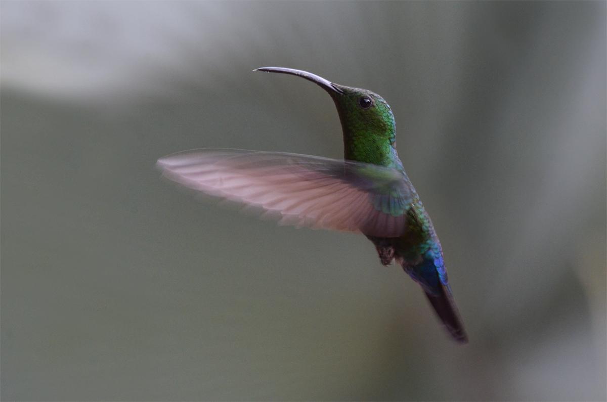 Colibri fal vert, Eulampis holosericeus