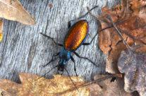 Chrysocarabus hispanus
