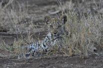 jeune léopard, Panthera pardus