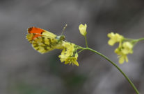 l'aurore de Provence, Anthocharis belia euphenoides