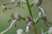 Orchis bouc et larve d'orthoptère