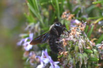 xylocope, Xylocopa violacea